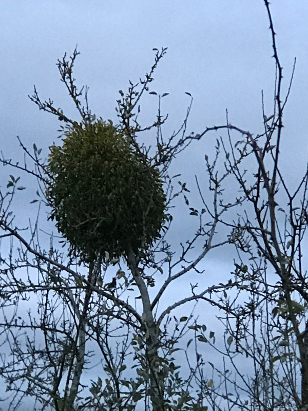 Herefordshire Mistletoe